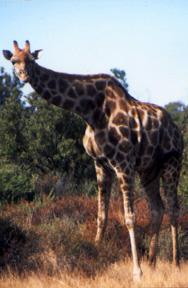 Eine Giraffe in einem Naturpark bei Bloemfontain