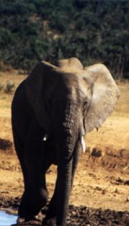 """Ein Elefant im """"Addo Elefant Park"""" bei Port Elisabeth"""